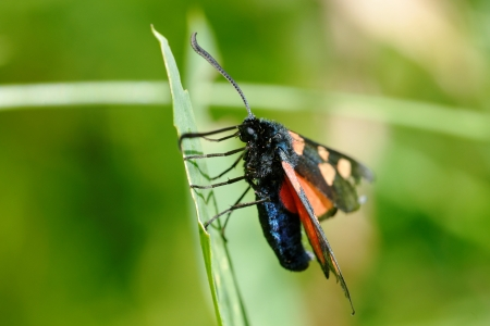 The Narrow-Bordered Five-Spot Burnet photo