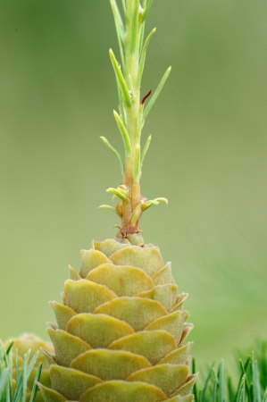 ovulate: Abnormal ovulate cone of larch tree