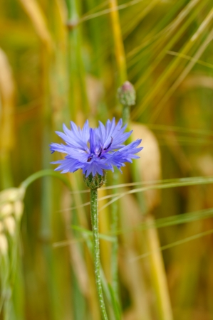 A cornflower on barley field
