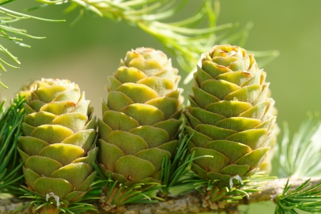 ovulate: Ovulate cones of larch tree in August Stock Photo