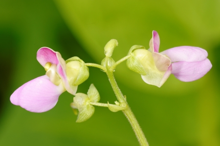 common bean: Flowers of common bean in the garden