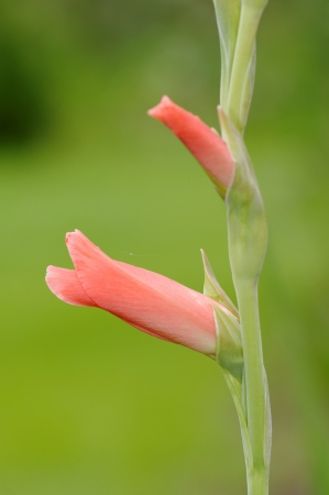 Flower of gladiolus  also known as sword-lily of flag