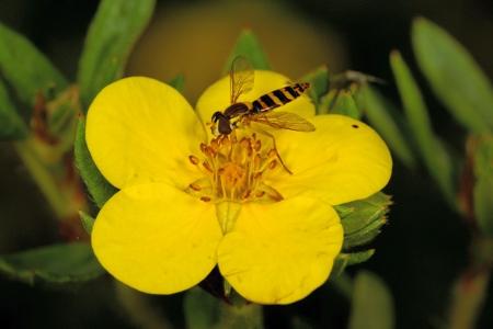 A flower of Shrubby cinquefoil bush