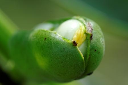 garden bean: A green bean pod in the garden