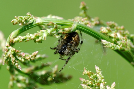 European garden spider  Araneus diadematus  on orrel flowers photo