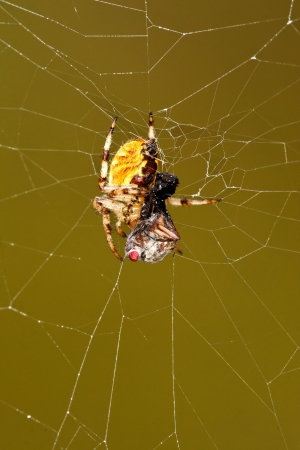 European garden spider  Araneus diadematus  preparing to consume a victim photo