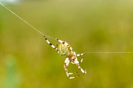 European garden spider  Araneus diadematus  Stock Photo