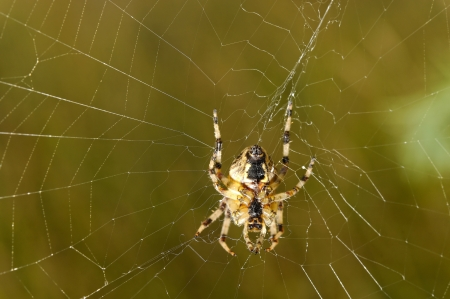 European garden spider (Araneus diadematus) photo