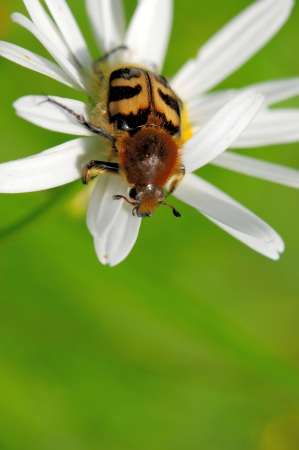 Bee beetle (Tricius fasciatus) on a flower of corn camomile photo