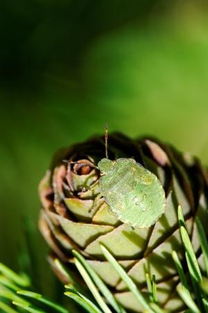 prasina: Common Green Shieldbug  Palomela prasina  on larch strobilus Stock Photo