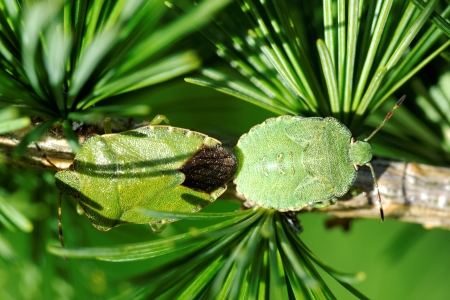 Common Green Shieldbug  Palomela prasina  on larch tree photo