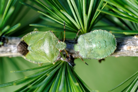 Common Green Shieldbug  Palomela prasina  on larch tree Stock Photo