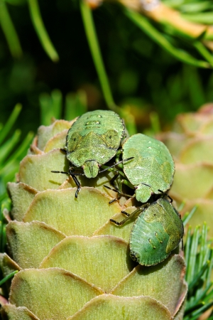 Common Green Shieldbug  Palomela prasina  on larch strobilus Stock Photo - 15164917
