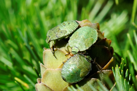 Common Green Shieldbug  Palomela prasina  on larch strobilus Stock Photo - 15164904