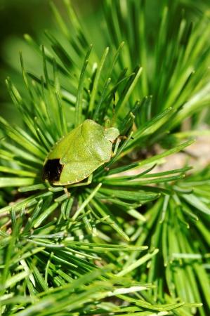 Common Green Shieldbug  Palomela prasina  on larch tree Stock Photo - 15164918