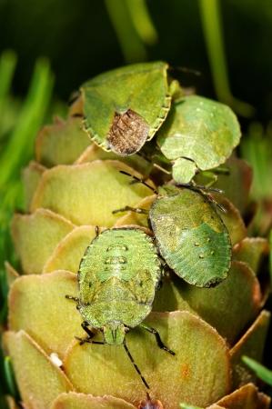Common Green Shieldbug  Palomela prasina  on larch strobilus photo