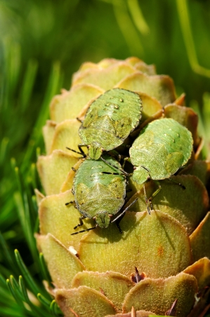 Common Green Shieldbug  Palomela prasina  on larch strobilus photo