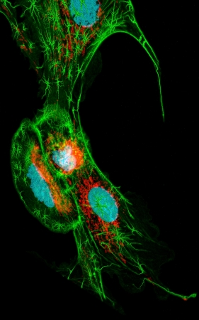 Fibroblast cells, fluorescence microscopy, nuclei, mitichondria, and microfilaments photo