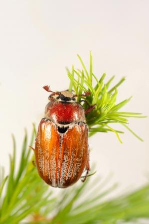 scarabaeidae: Cockchafer