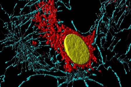 fibroblast: Microfilaments, mitochondria, and nuclei in fibroblast cells Stock Photo