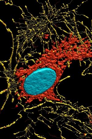 Microfilaments, mitochondria, and nuclei in fibroblast cells Stock Photo - 16428620