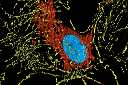 Microfilaments, mitochondria, and nuclei in fibroblast cells photo