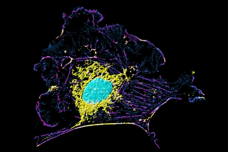 Microfilaments, mitochondria, and nuclei in fibroblast cell photo
