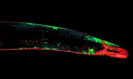 elegans: Caenorhabditis elegans