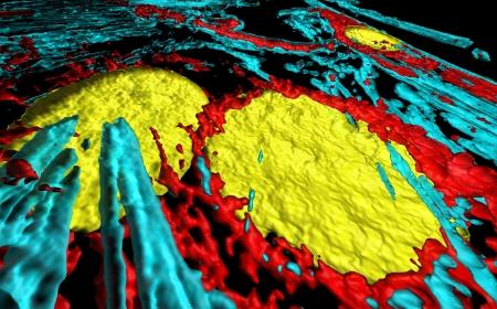 Microfilaments, mitochondria, and nuclei in fibroblast cells Stock Photo - 16428343