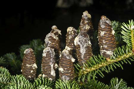 rosin: Fir cones with rosin