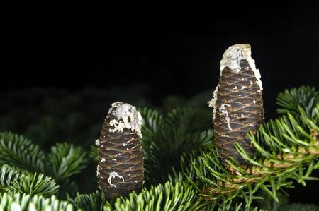 rosin: FFir cones with rosin Stock Photo