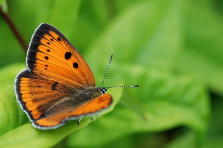 Large copper - Lycaena dispar Stockfoto