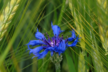 bachelor s button: Cornflower and rye Stock Photo