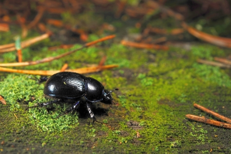 geotrupes: Forest dung beetle  Geotrupes stercorarius  Stock Photo