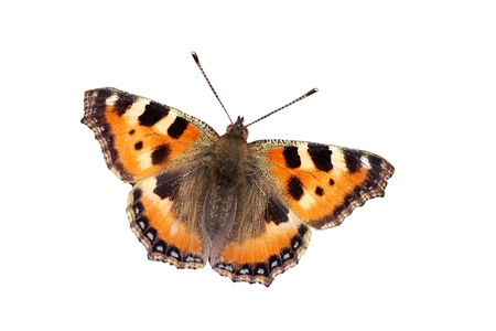 Small tortoiseshell butterfly Stock Photo