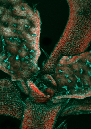 Fluorescently labeled microfilaments in Arabidopsis thaliana trichomes and leaf epidermis