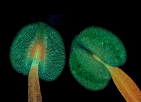 fluorescence: Anthers of thale cress  Arabidopsis thaliana , fluorescence micrograph