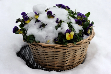 flower basket: Flower basket on a cafe table, covered with fresh snow