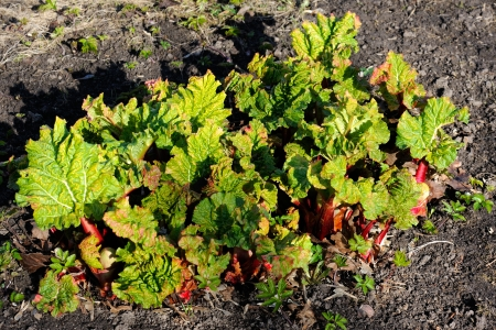 rheum: A shub of young rhubarb Stock Photo