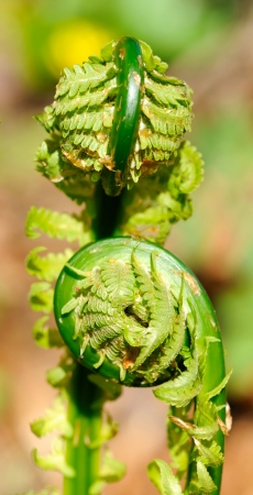Leaves of shuttlecock fern  Matteuccia struthiopteris  on a riverbank in the middle of May