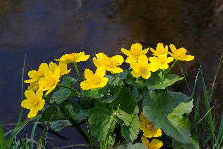 Flowers of marsh marigold  Caltha palustris  Stockfoto
