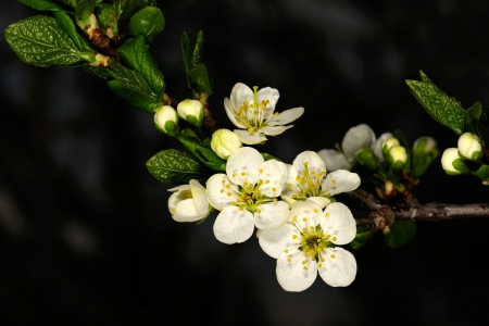 White flowers of cherry tree, end of May