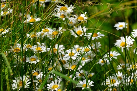 Oxeye daisy  Leucanthemum vulgare flowers in green grass photo