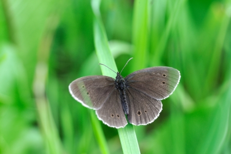 ringlet: Ringlet Butterfly  Aphantopus hyperanthus  Stock Photo