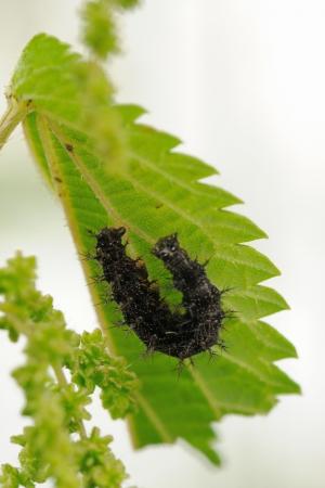 Caterpillar of map butterfly on nettle leaf