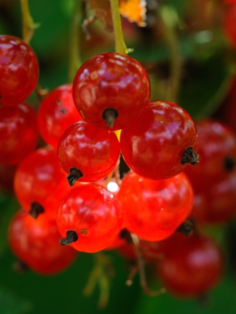 ribes: Red currant  Ribes rubrum  is a member of the genus Ribes in the gooseberry family Grossulariaceae