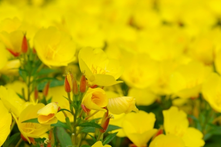 Oenothera is a genus of about 125 species of herbaceous flowering plants, native to North and South America  It is the type genus of the family Onagraceae  Common names include evening primrose, suncups and sundrops Stock Photo
