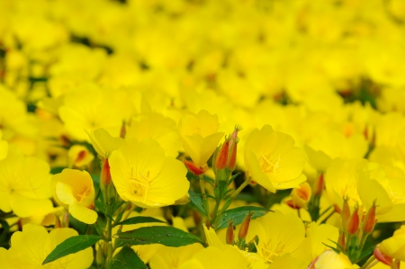 plants species: Oenothera is a genus of about 125 species of herbaceous flowering plants, native to North and South America  It is the type genus of the family Onagraceae  Common names include evening primrose, suncups and sundrops Stock Photo