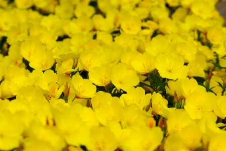 sundrops: Oenothera is a genus of about 125 species of herbaceous flowering plants, native to North and South America. It is the type genus of the family Onagraceae. Common names include evening primrose, suncups and sundrops