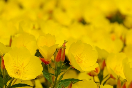 Oenothera is a genus of about 125 species of herbaceous flowering plants, native to North and South America. It is the type genus of the family Onagraceae. Common names include evening primrose, suncups and sundrops